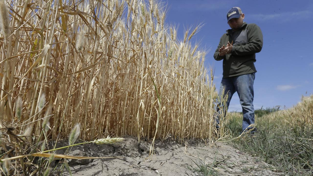 In this Monday, May 18, 2015 file photo, Gino Celli inspects wheat nearing harvest on his farm near Stockton, Calif.