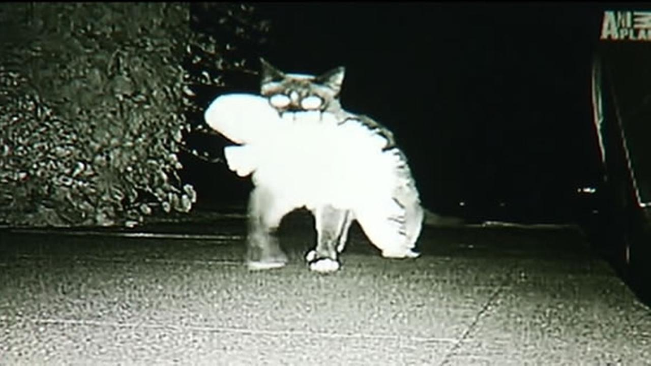 A cat burglar is on the loose in a Peninsula neighborhood. Really, its a cat that steals things.