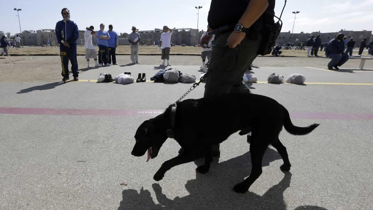 In this photo taken Wednesday May 20, 2015, Correctional Officer D. Rosario walks a drug-sniffing dog through the main yard at California State Prison, Solano in Vacaville, Calif.