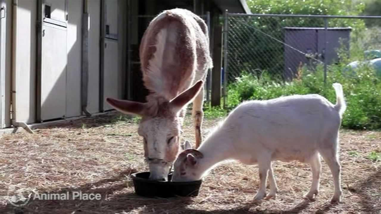 Rescued goat reunited with best friend burro