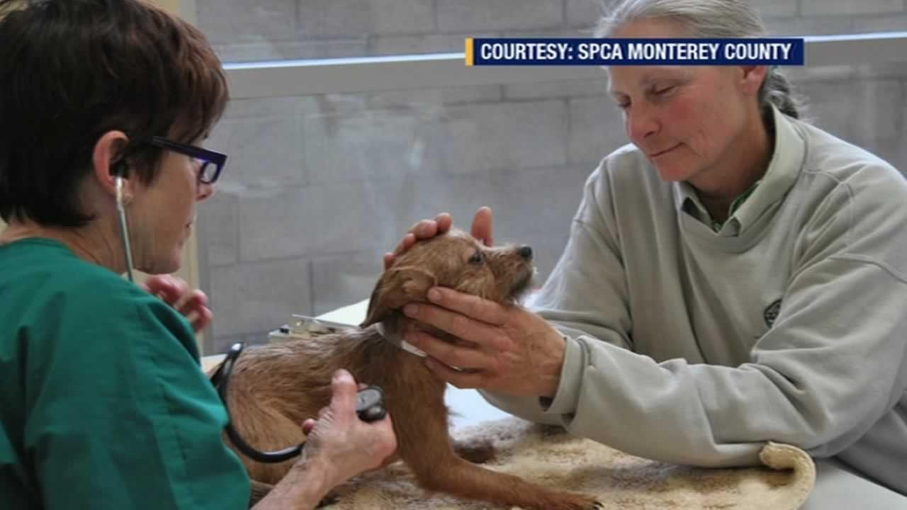 A dog rescued by the SPCA Monterey County.