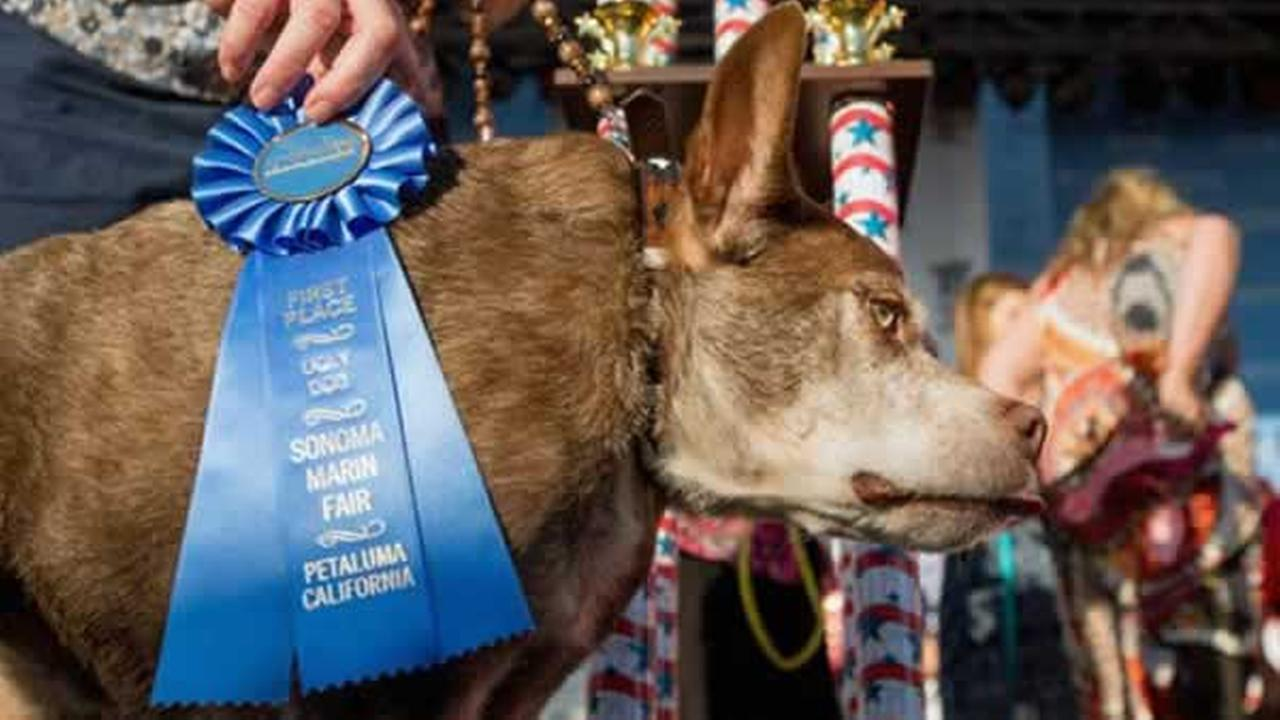 Quasi Modo wins top honors in the Worlds Ugliest Dog Contest at the Sonoma-Marin Fair on Friday, June 26, 2015 in Petaluma, Calif.