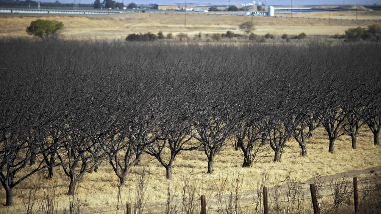 A dead almond crop is seen in Californias Westland Water District in Fresno, Calif.