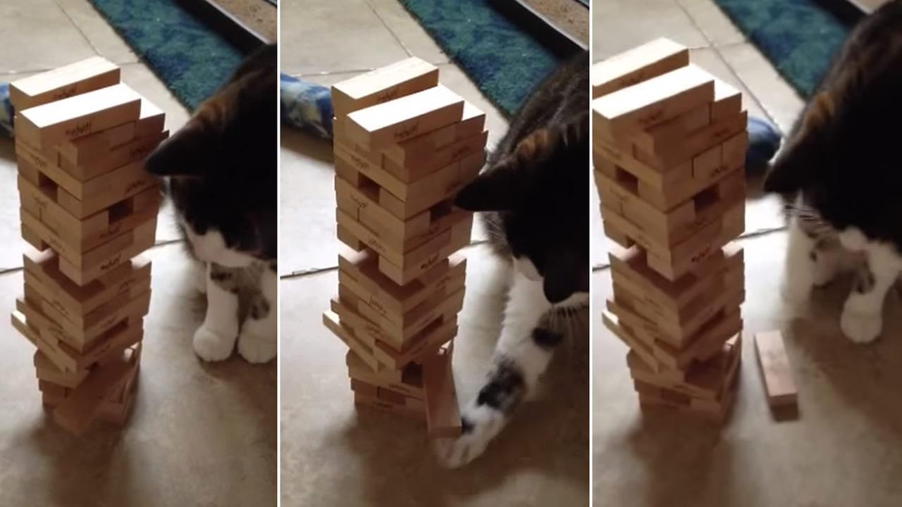 Moe the cat plays Jenga.