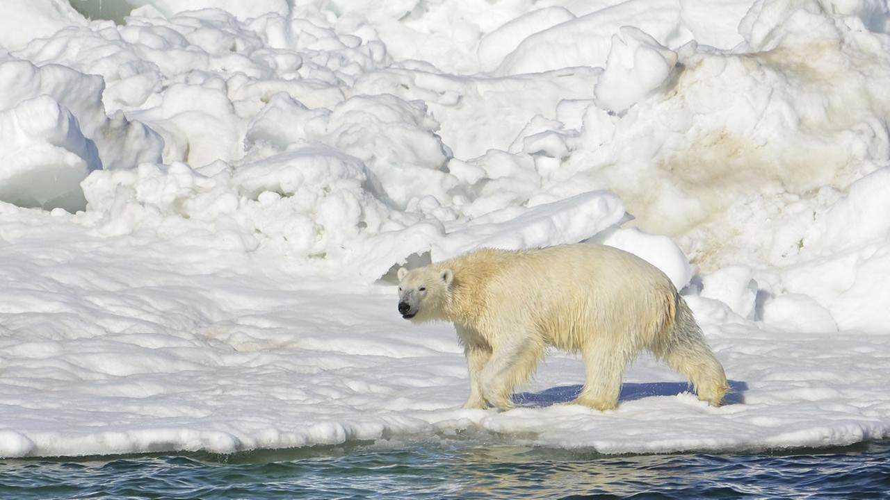 In this June 15, 2014 file photo, a polar bear dries off after taking a swim in the Chukchi Sea in Alaska.