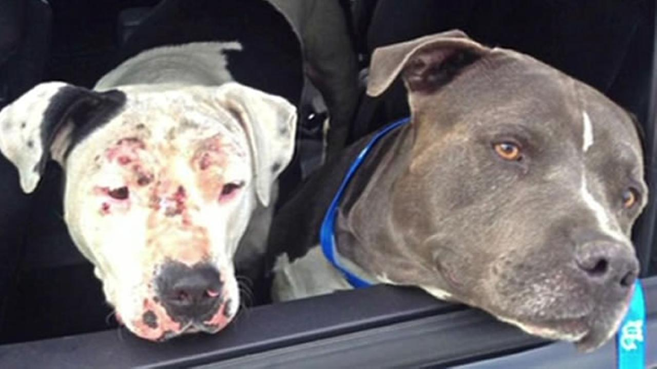 A CHP officer rounded up two Staffordshire Terriers after he spotted them wandering on Highway 4 near Discovery Bay, Calif. on Monday, July 6, 2015.