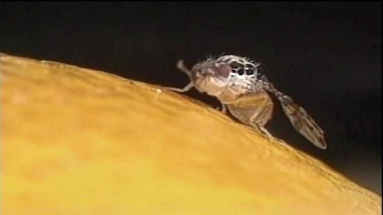 Oriental fruit fly. (File photo)