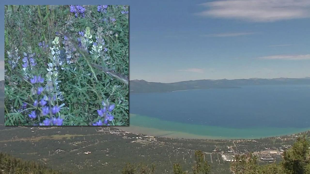 Despite low water levels due to the drought, Lake Tahoe is experiencing an incredible burst of wildflowers sparked from recent rains.