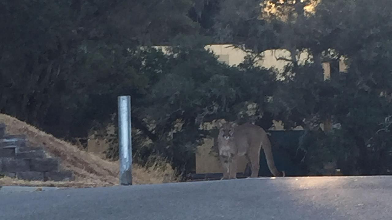 A mountain lion was observed by a citizen who was walking a dog in the area of Tea Tree Way and Mimosa Court in GIlroy, Calif. on July 16, 2015.