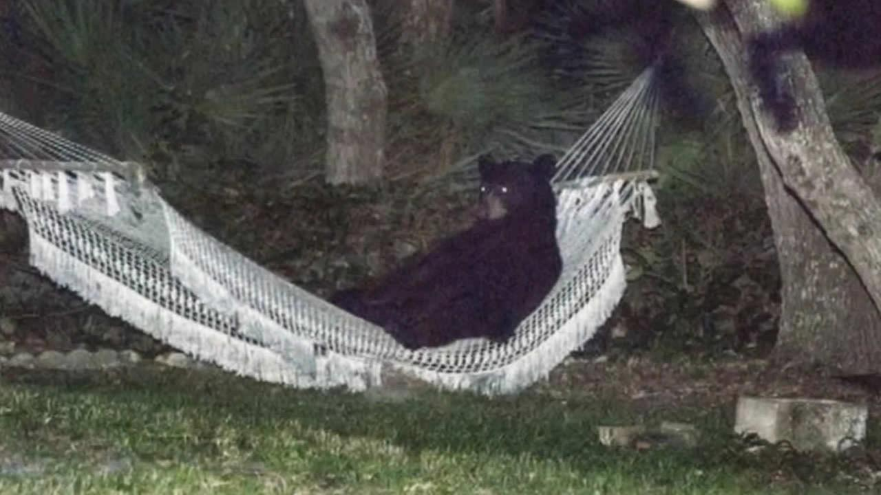 Bear hangs out in hammock in Daytona Beach backyard