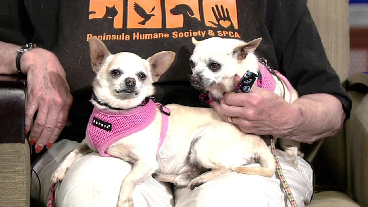 Chihuahuas Wally and Wong Wong are two easygoing, gentle and fun boys who love to be cuddled and held.