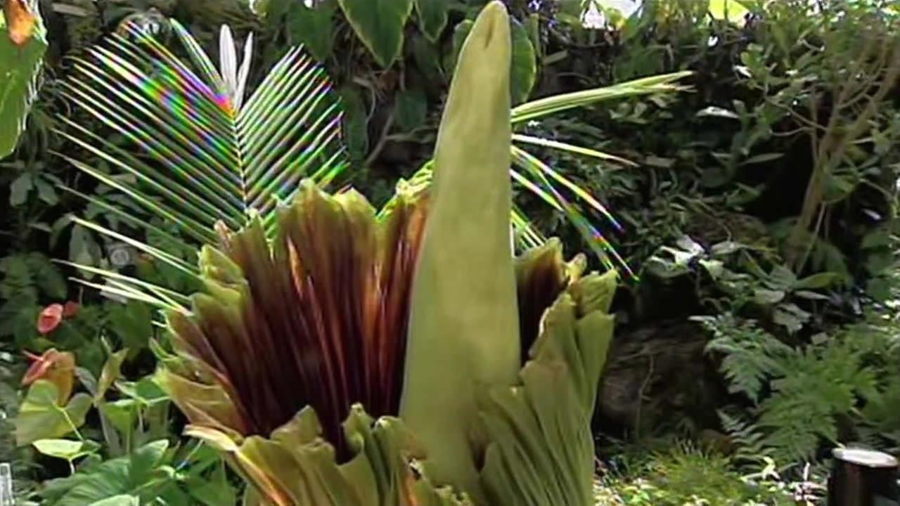 This undated image shows a Corpse Flower nicknamed Trudy at the UC Berkeley Botanical Garden in Berkeley, Calif.