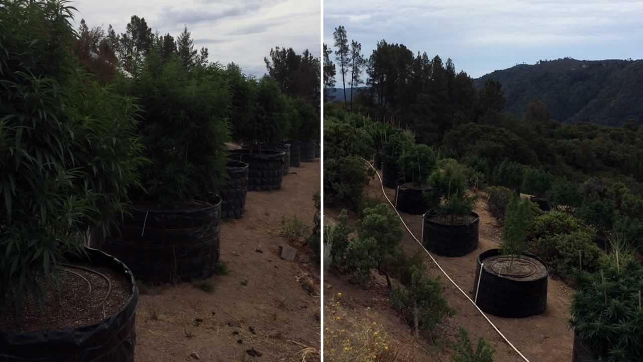 A raid at an illegal marijuana grow in the Santa Cruz Mountains on Thursday, August 6, 2015 led to the discovery of hundreds of plants valued at about $1.7 million