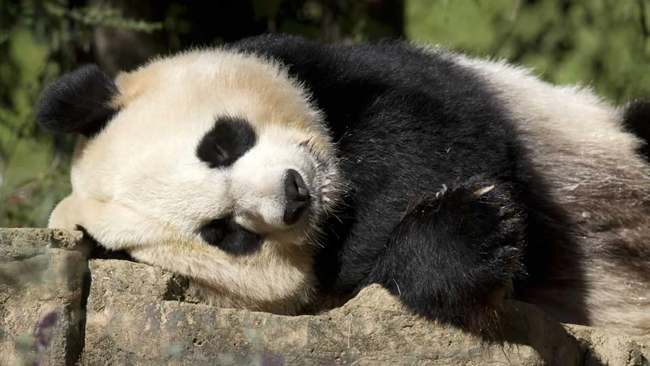 In this Oct. 11, 2012 file photo, Mei Xiang, a giant female panda, rests at the National Zoo in Washington.