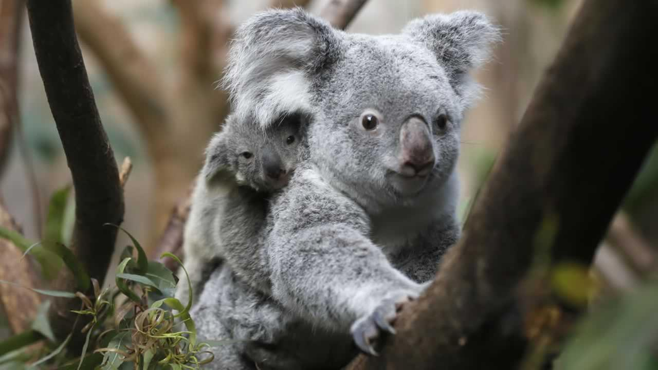 A male koala joey rides on his mother Goonderrahs back at the Zoo in Duisburg, western Germany on Wednesday, March 27, 2013.
