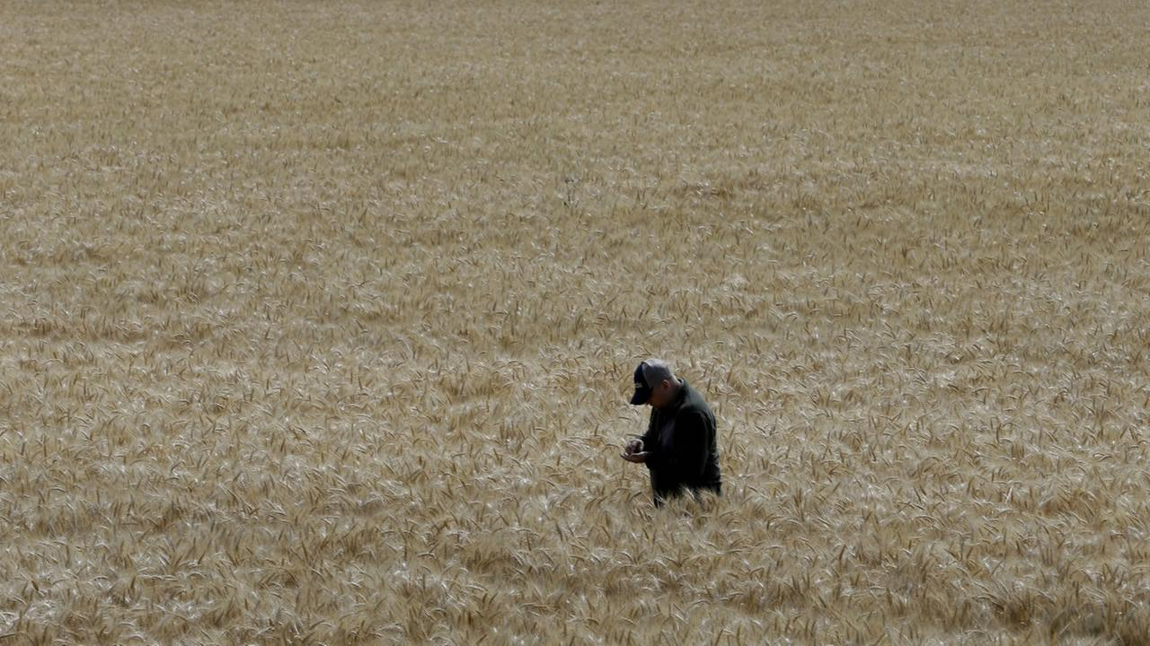 In this photo taken Monday, May 18, 2015, Gino Celli inspects wheat nearing harvest on his farm near Stockton, Calif.