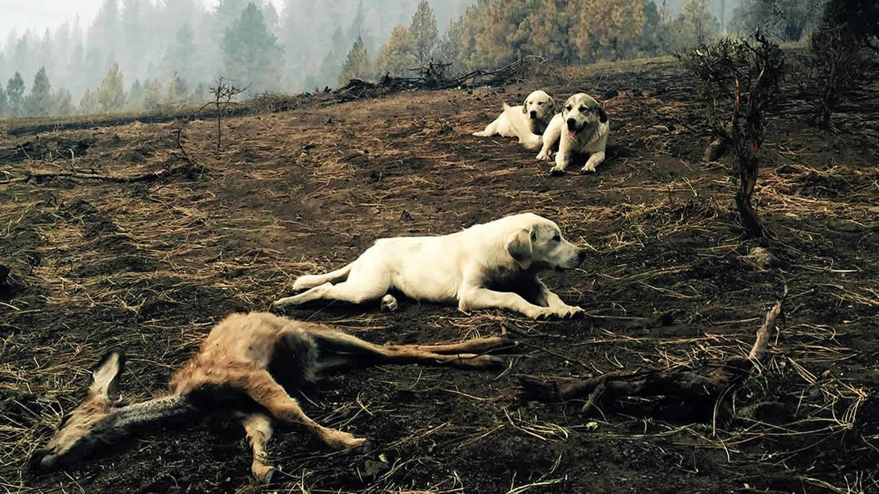 In this Monday, Aug, 17, 2015, photo, a sheep dog and her two pups protect a dead fawn, killed when fire swept through Kamiah, Idaho. (Louis Armstrong via AP)