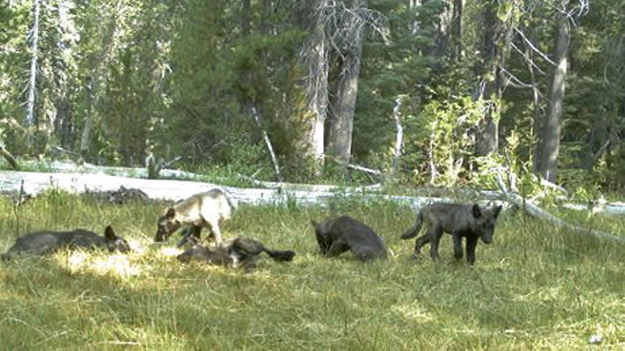 In this Aug. 9, 2015 still image from video released by the California Dept. of Fish and Wildlife shows evidence of a wolf pack in Northern California. (AP Photo)