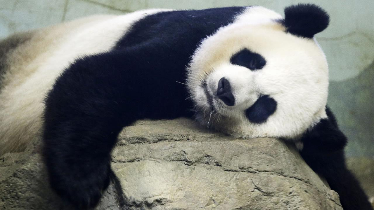 The Smithsonian National Zoos Giant Panda Mei Xiang sleeps in the indoor habitat at the zoo in Washington, Wednesday, Aug. 12, 2015.