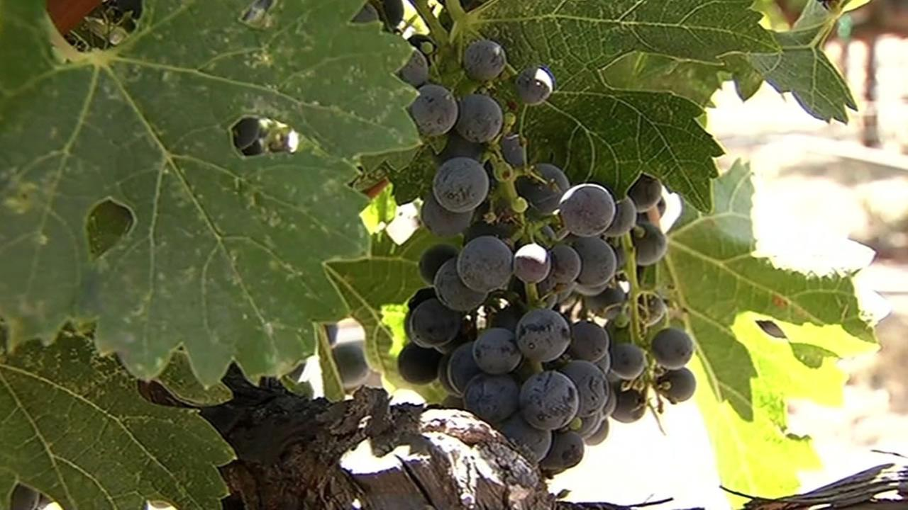 Ripened grapes sit on the vine at V. Sattui in Napa, Calif. on Monday, September 7, 2015.