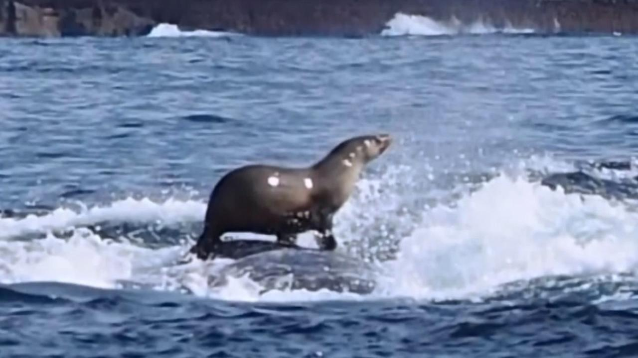 A photographer documenting a pod of whales in Australia took this photo of a seal hitching a ride on a humpback whale.