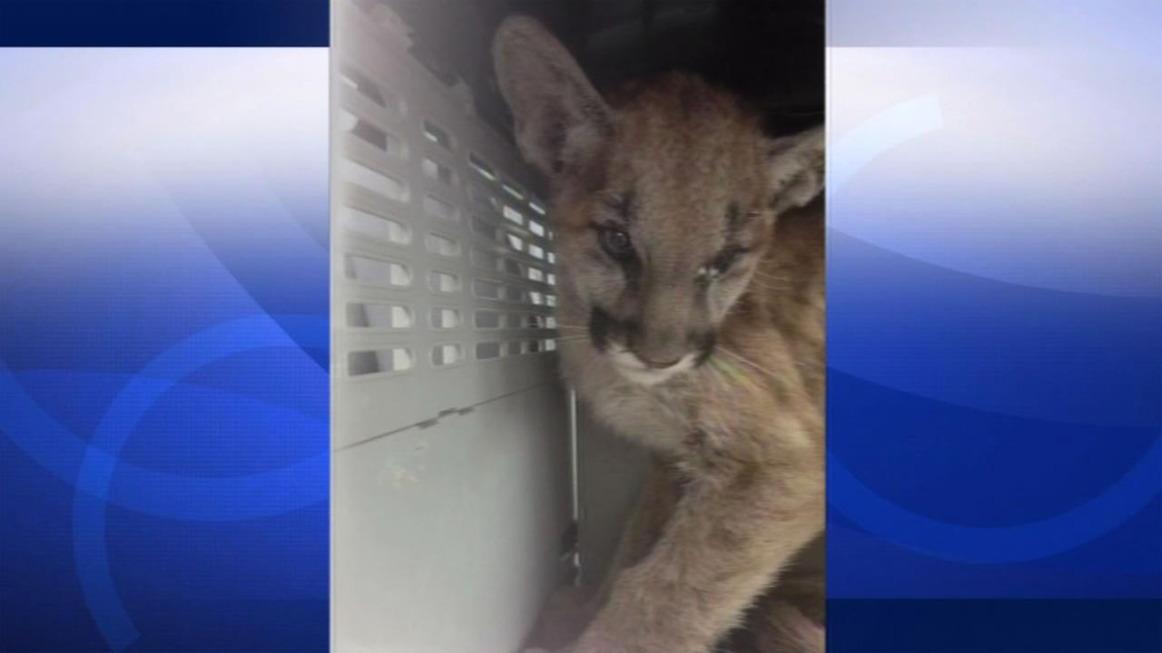 The California Dept. of Fish and Wildlife shared this photo of a mountain lion cub they rescued after it was badly burned in the Butte Fire.