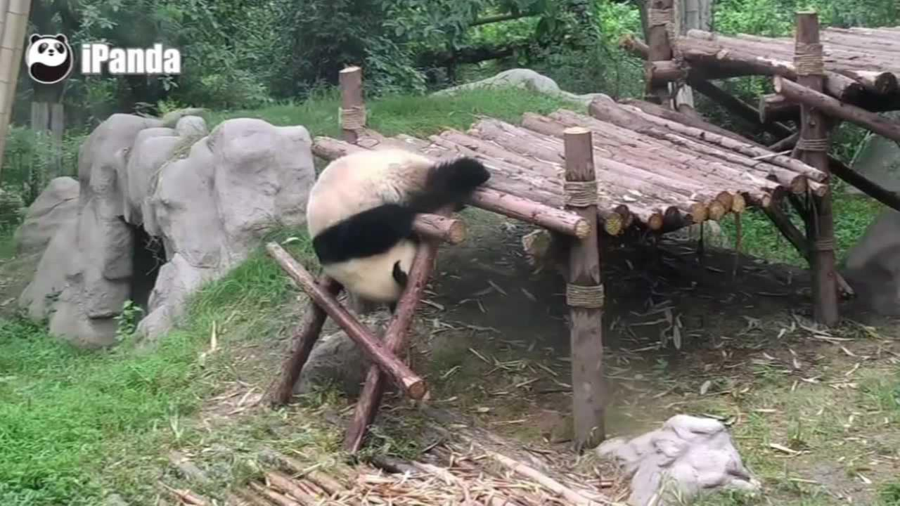 A video from the Chengdu Research Base in China shows the cub playing with his friend, who decides to climb a ladder.