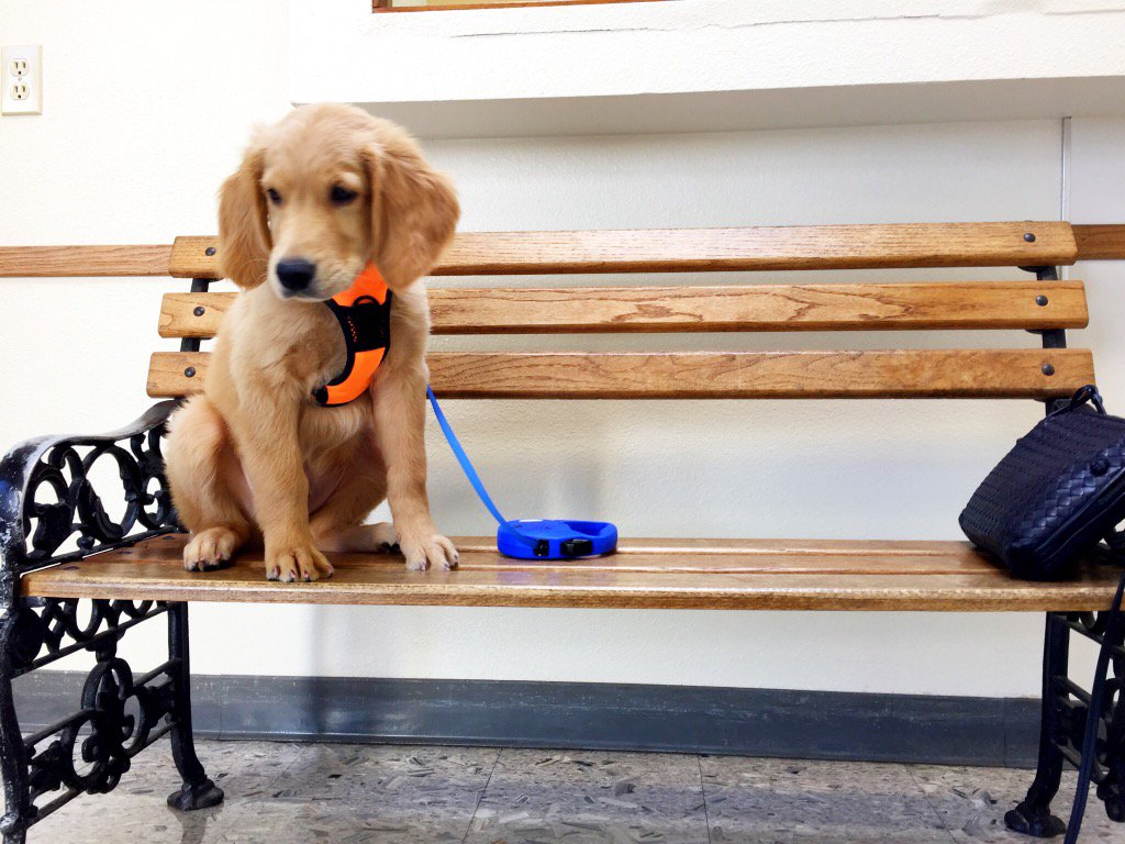 <div class='meta'><div class='origin-logo' data-origin='none'></div><span class='caption-text' data-credit='Photo submitted to KGO-TV by @SFLawyer98/Twitter'>A golden retriever puppy sits on a bench in this undated image.</span></div>