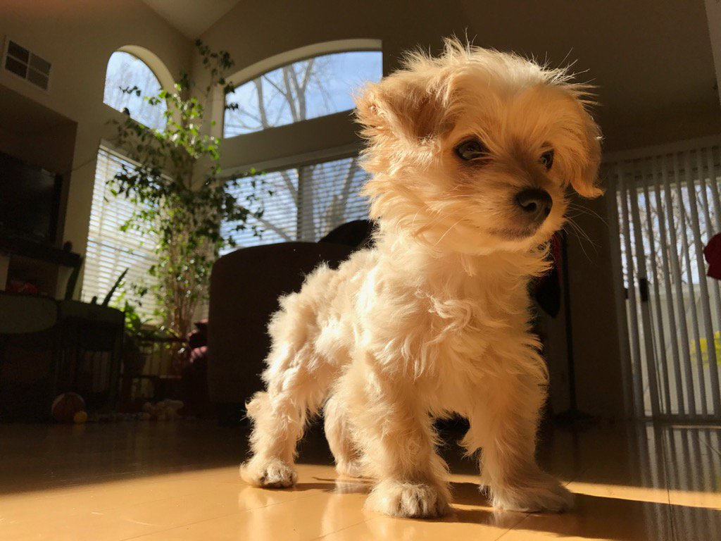 <div class='meta'><div class='origin-logo' data-origin='none'></div><span class='caption-text' data-credit='Photo submitted to KGO-TV by @koreanhusband/Twitter'>Leo the Maltipoo appears in San Jose, Calif. in this undated image.</span></div>