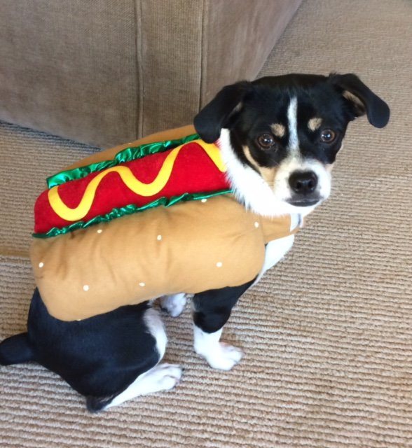 <div class='meta'><div class='origin-logo' data-origin='none'></div><span class='caption-text' data-credit='Photo submitted to KGO-TV by @hotdiggitymarin/Twitter'>A puppy wears a hot dog costume in this undated image.</span></div>