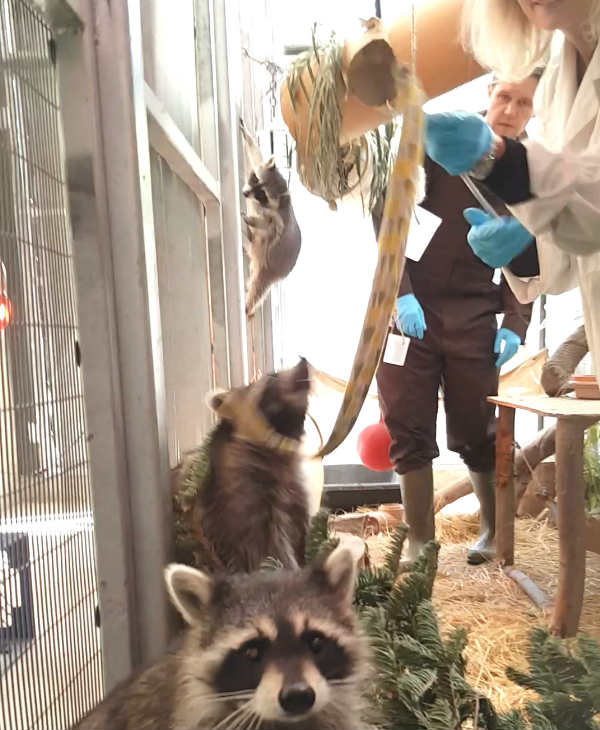"<div class=""meta image-caption""><div class=""origin-logo origin-image none""><span>none</span></div><span class=""caption-text"">A group of hitchhiking baby raccoons are calling the Oakland Zoo home. (WildCare)</span></div>"