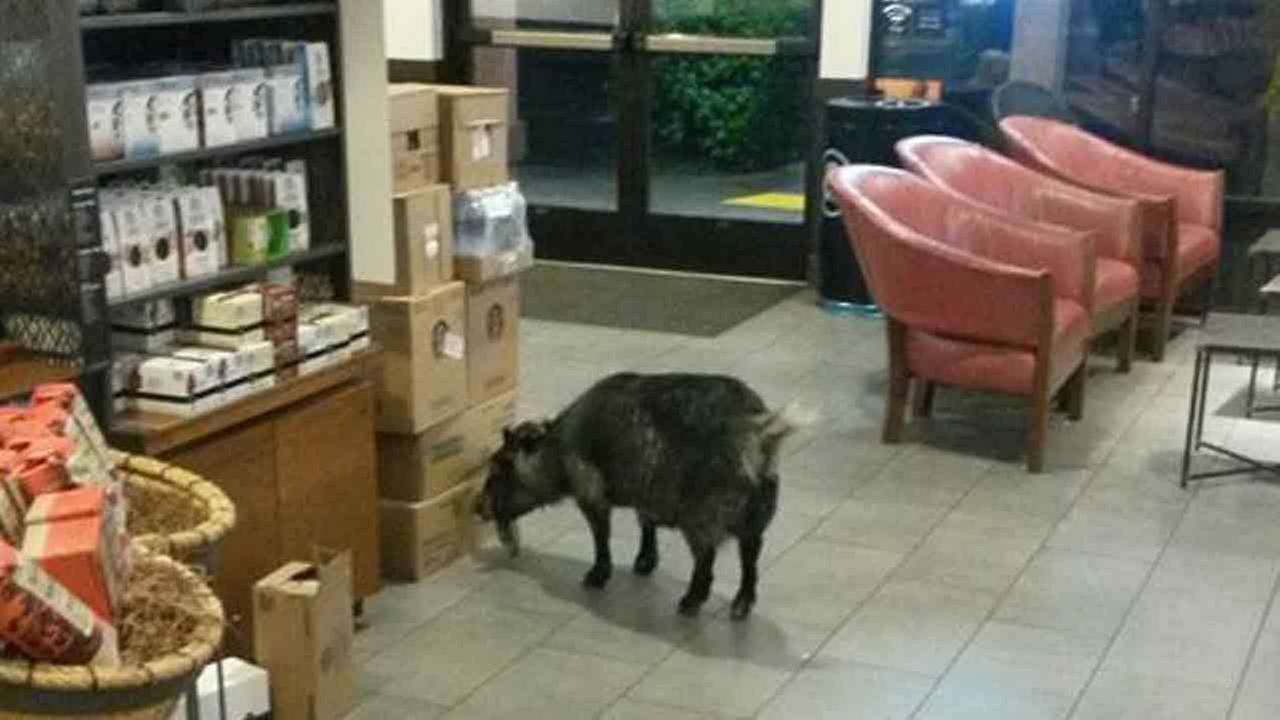 A goat wanders into a Starbucks in Rohnert Park, Calif., on Sunday, April 10, 2016.