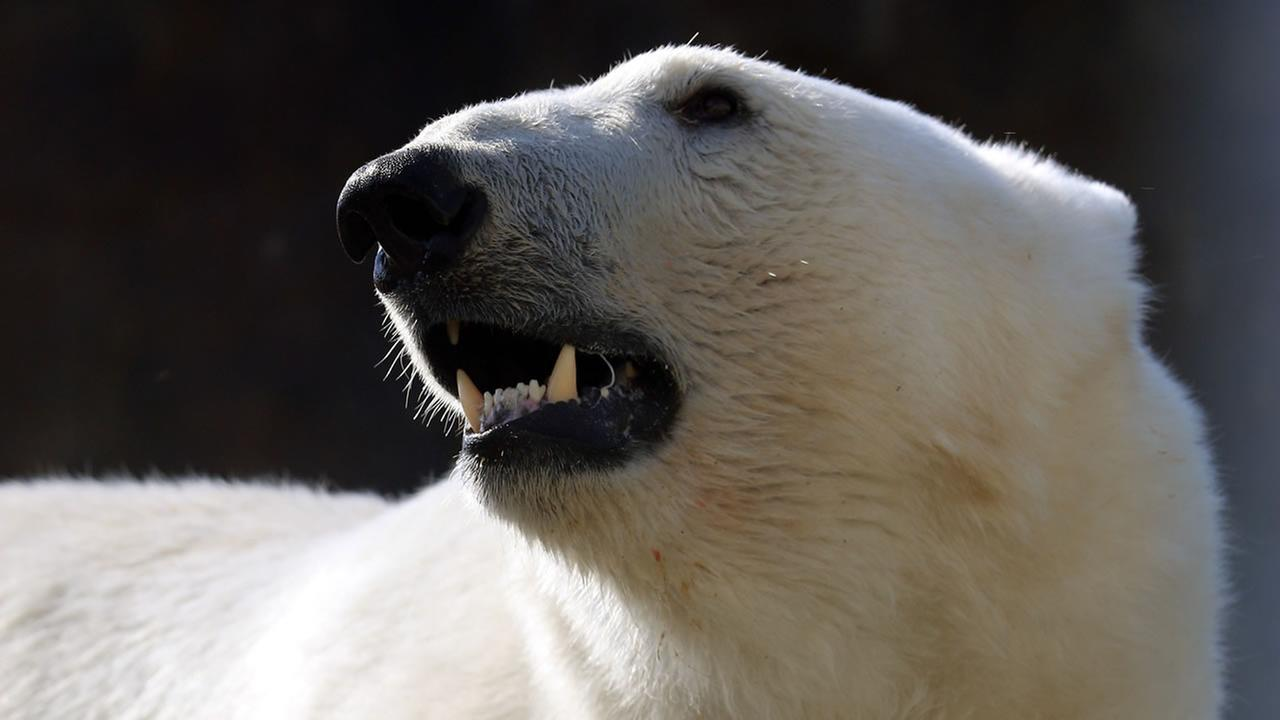 A polar bear stands in its new enclosure at the Schoenbrunn Zoo in Vienna, Austria, on Thursday, May 22, 2014. (AP Photo/Ronald Zak)