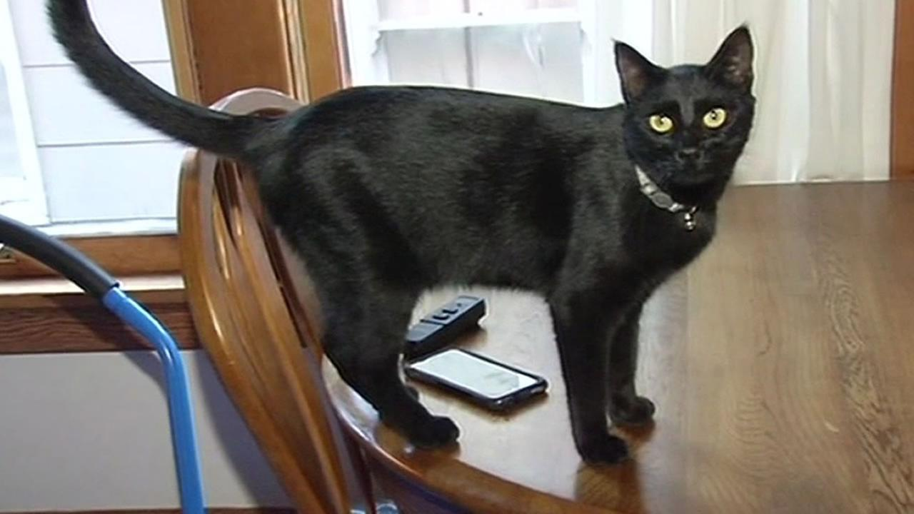 Shiba the cat