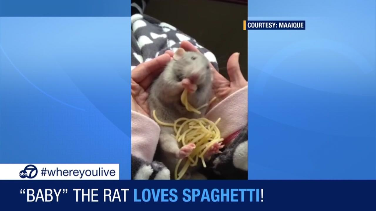 Baby the rat loves spaghetti