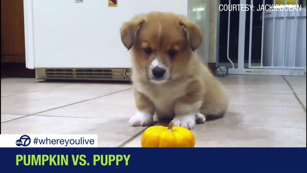 Puppy stumped by mini pumpkin