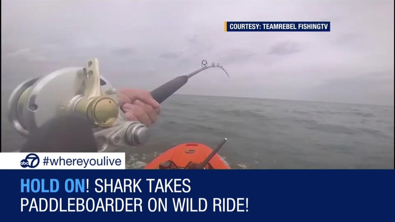 Shark takes paddleboarder on wild ride