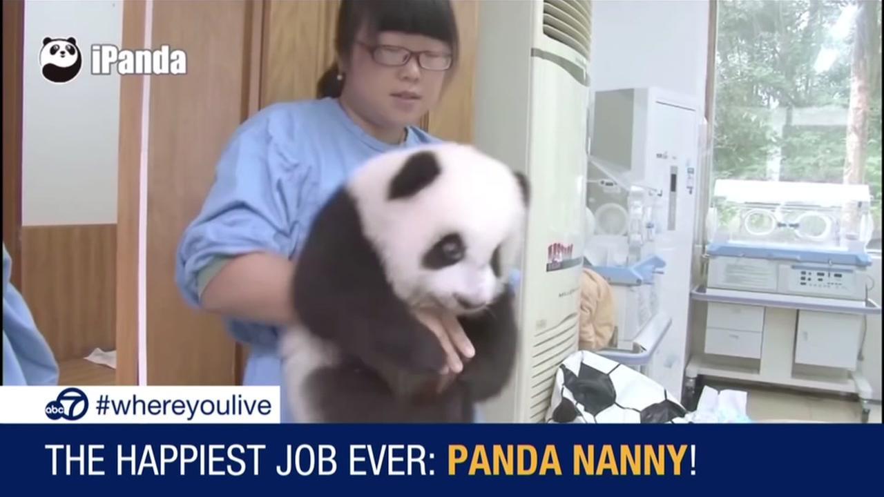 The happiest job ever: panda nanny!