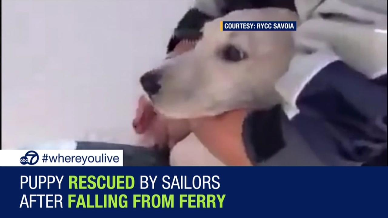 Puppy rescued after falling from ferry