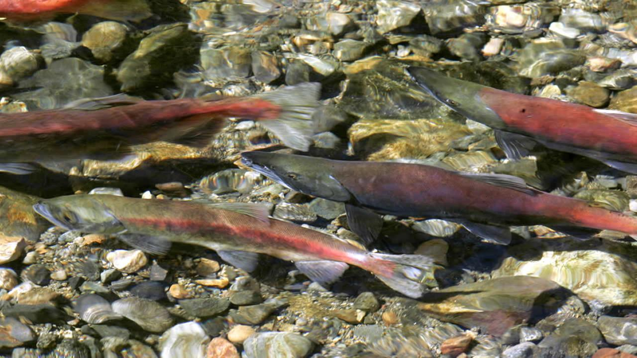 In this photo taken Oct. 8, 2008, a Kokanee salmon swims in Taylor Creek near South Lake Tahoe, Calif. (AP Photo/Rich Pedroncelli)