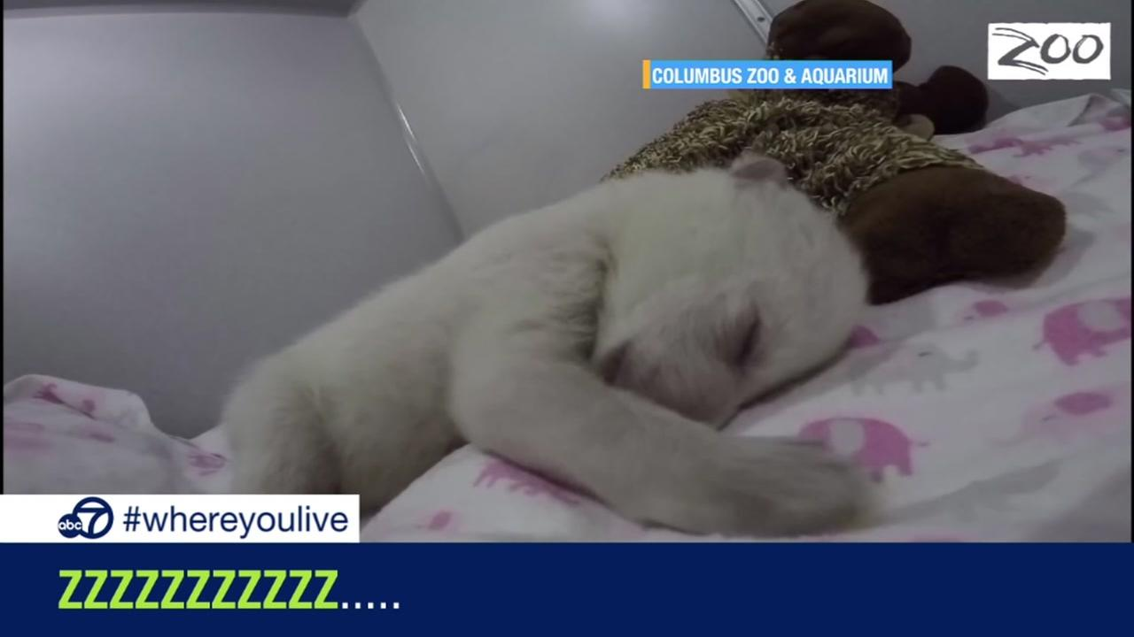 KNOW AND TELL: Polar bear sleeps like a baby