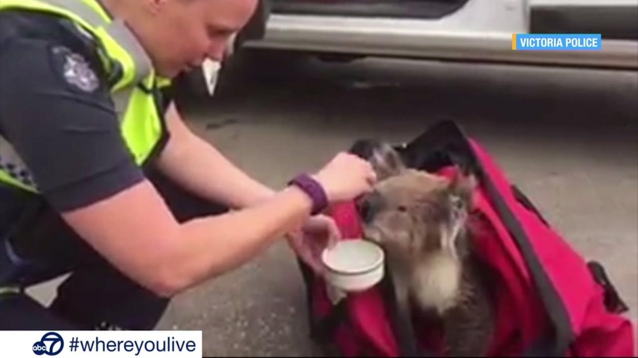 KNOW AND TELL: Rescued koala given a drink of water