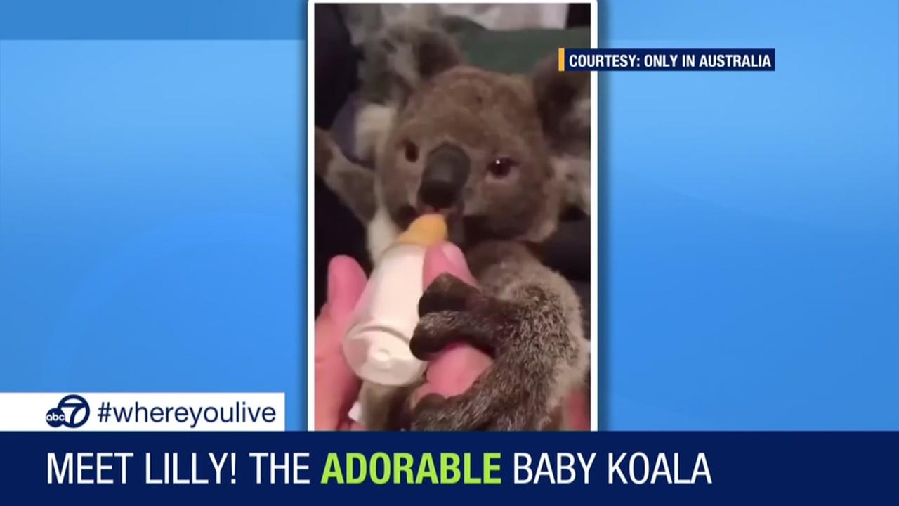 KNOW AND TELL: Adorable koala gets bottle fed