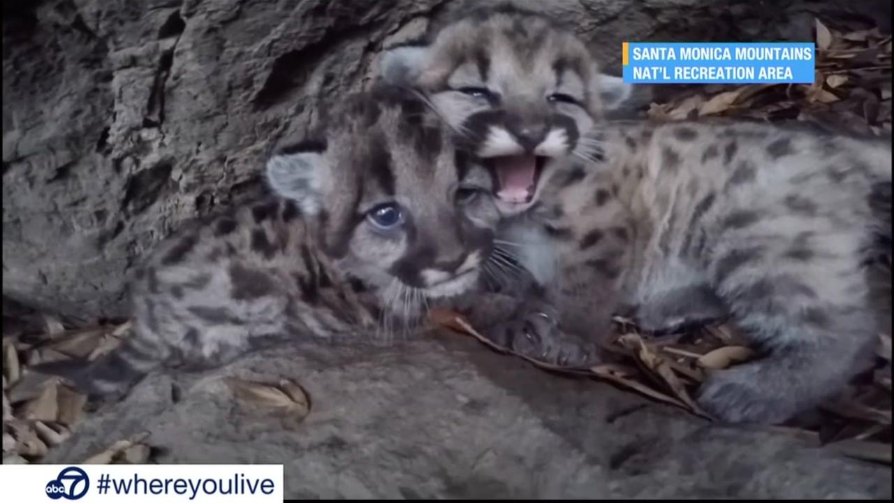 KNOW AND TELL: Little mountain lion kittens are too cute!