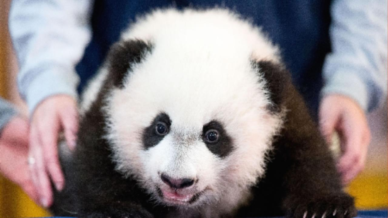 In this photo taken dec. 14, 2015, Bei Bei, the National Zoos newest panda and offspring of Mei Xiang and Tian Tian, is presented at the National Zoo in in Washington.