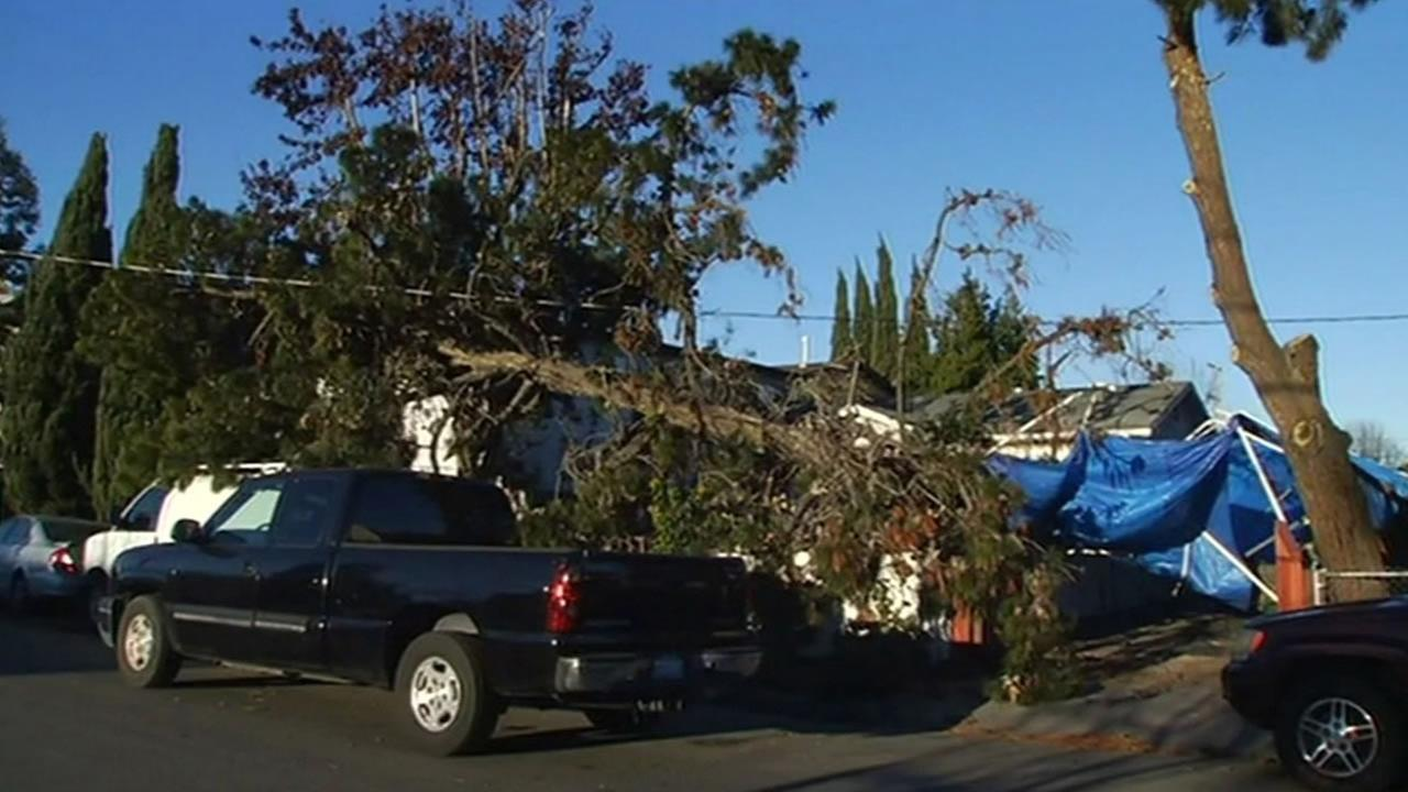 A massive tree was cleaned up in Redwood City, Calif., on Monday, February, 1, 2016, after being brought down by strong winds the night before.