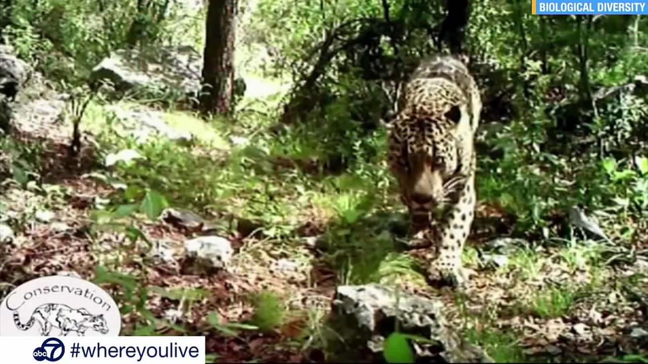 A rare, wild jaguar thought to be the only one living in the United States is seen in this undated image.