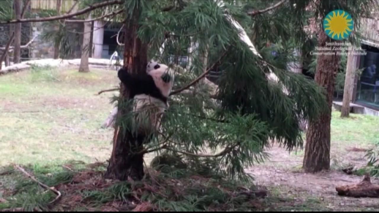 Panda tries to climb tree