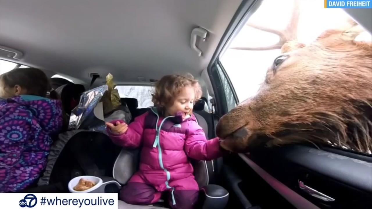 A massive elk is  seen taking a snack from a little girl in this undated image.