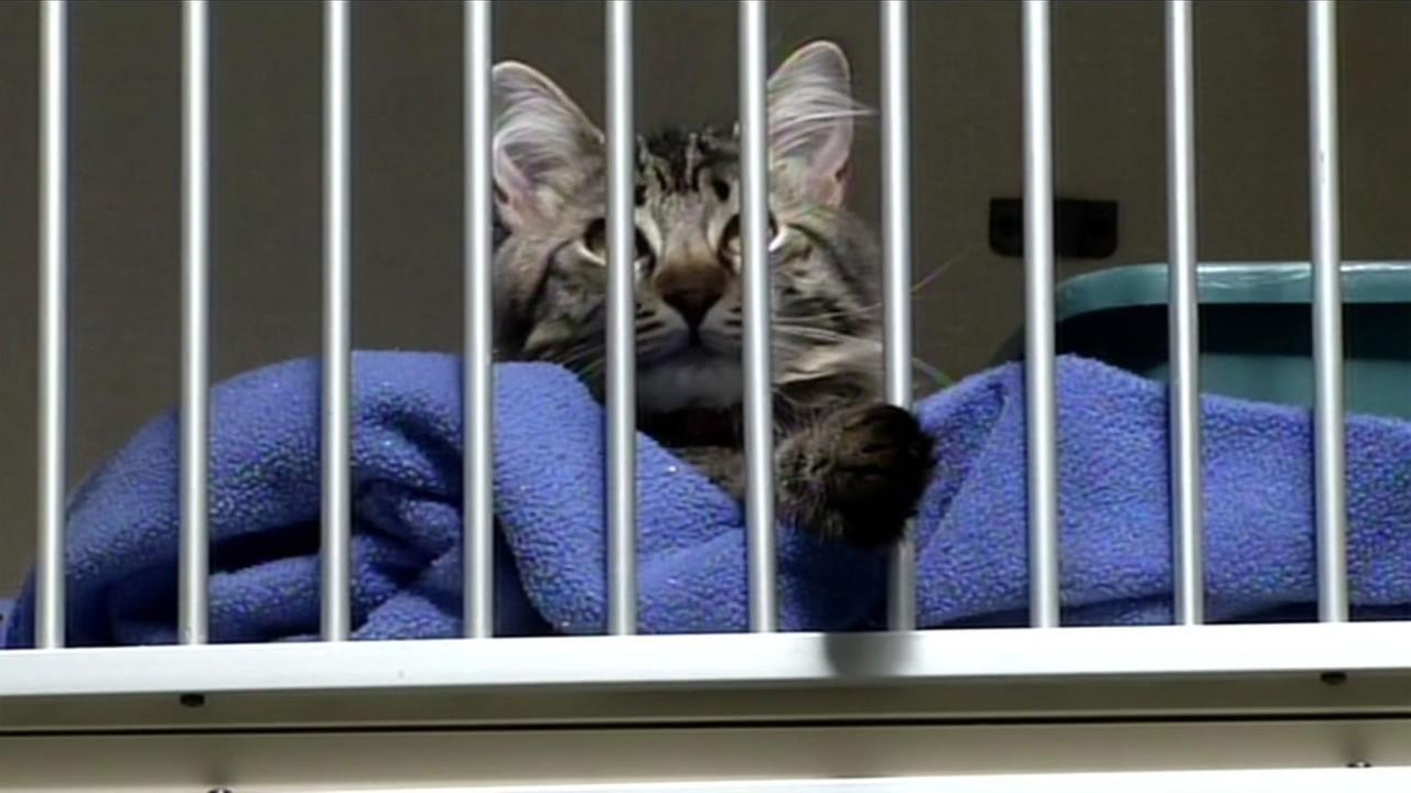 A cat thats up for adoption at the Nine Lives Foundation in Redwood City, Calif. Feb. 19, 2016.